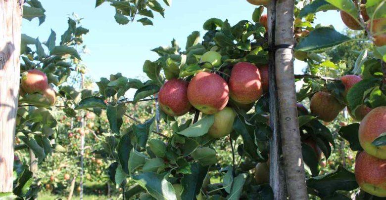 Apfelplantage Bodensee