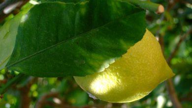 Zitrone an einem Zitrusbaum