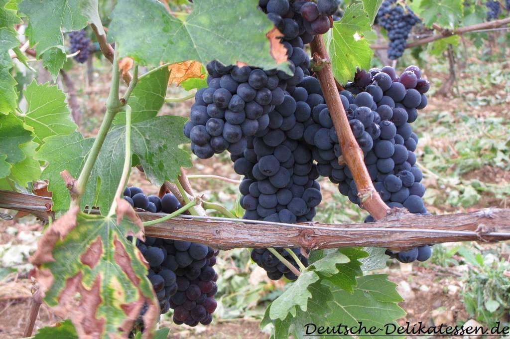 Weintraube am Weinstock im Weinberg